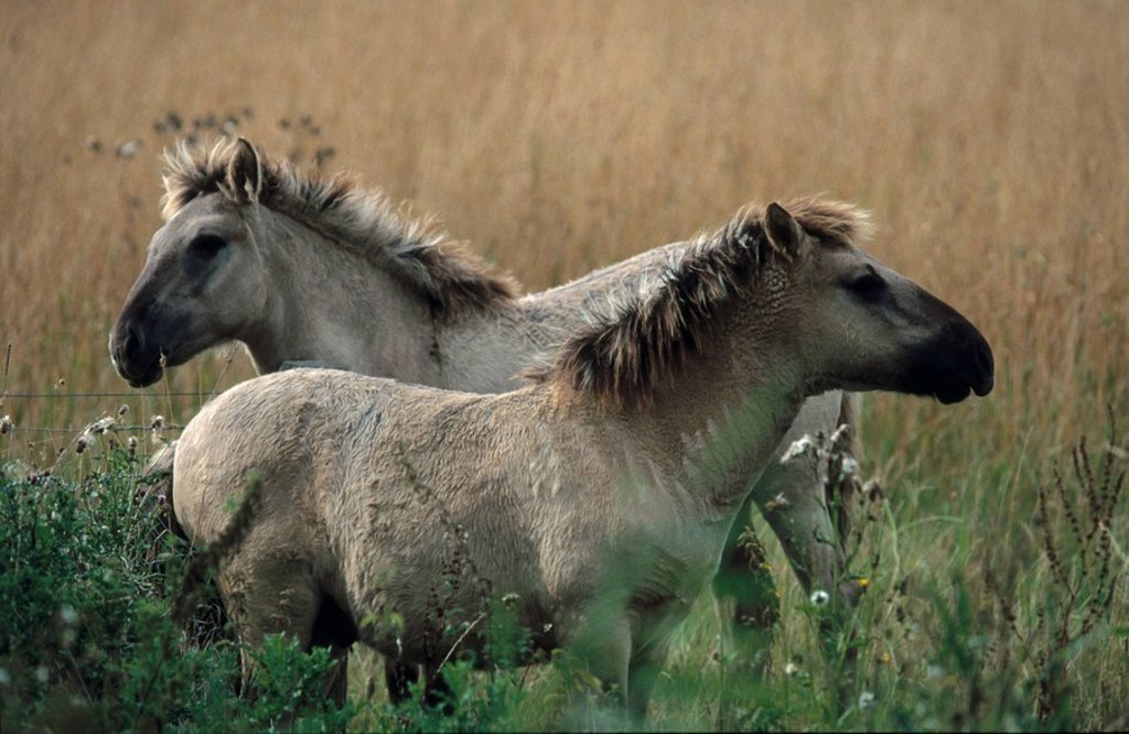 Two Przewalski´s horses Equus ferus przewalskii standing in field : Stock Photo