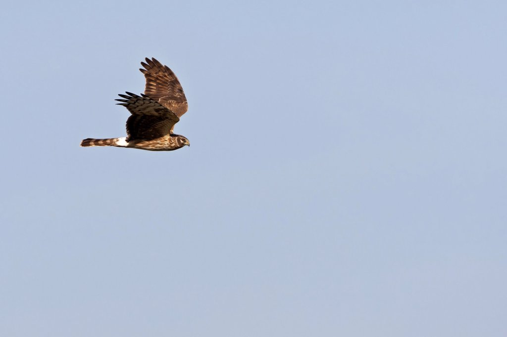 Hen Harrier Circus cyaneus flying : Stock Photo