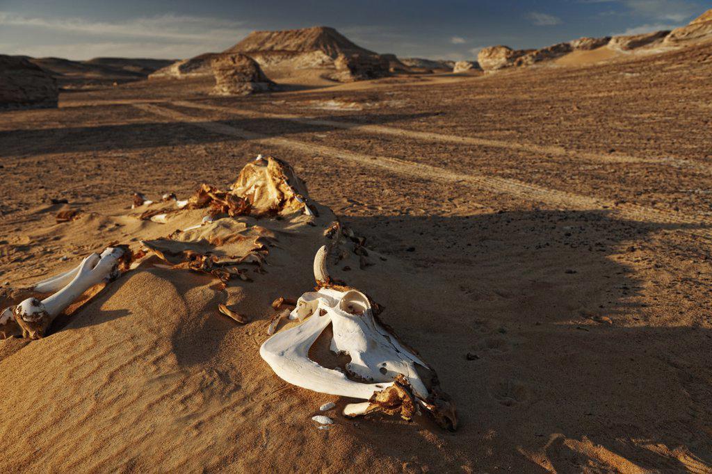 Animal bones in the desert near Bahariya Oasis, Libyan Desert, Egypt : Stock Photo