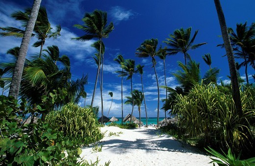 Palm trees on beach, Bavaro, Punta Cana, Hispaniola, Dominican Republic : Stock Photo