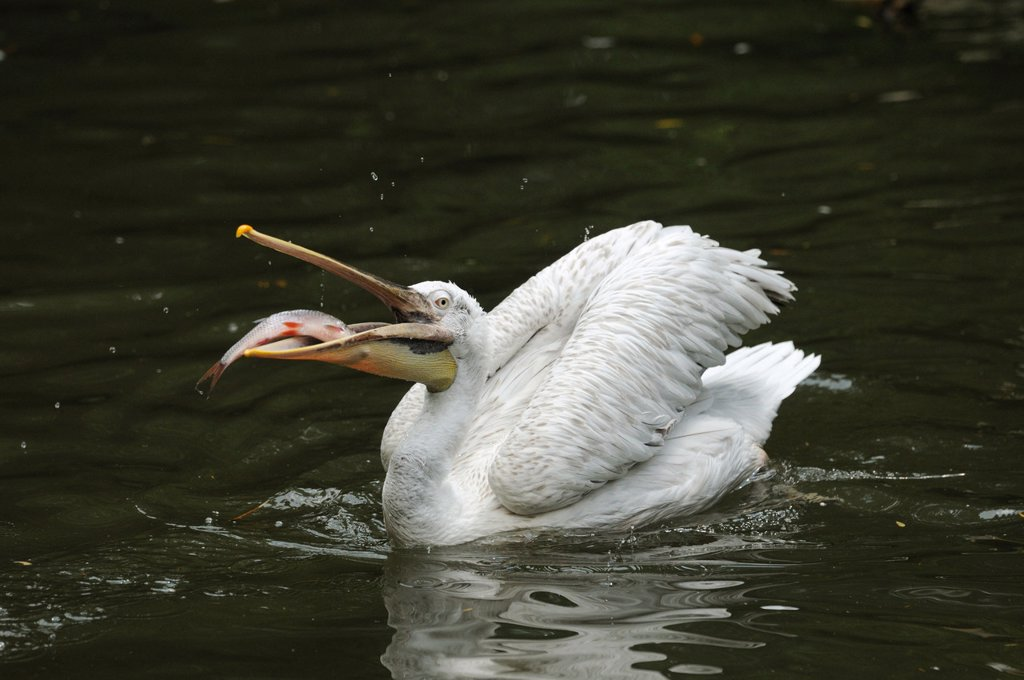 Dalmatian Pelican Pelecanus crispus with forage fish on water : Stock Photo