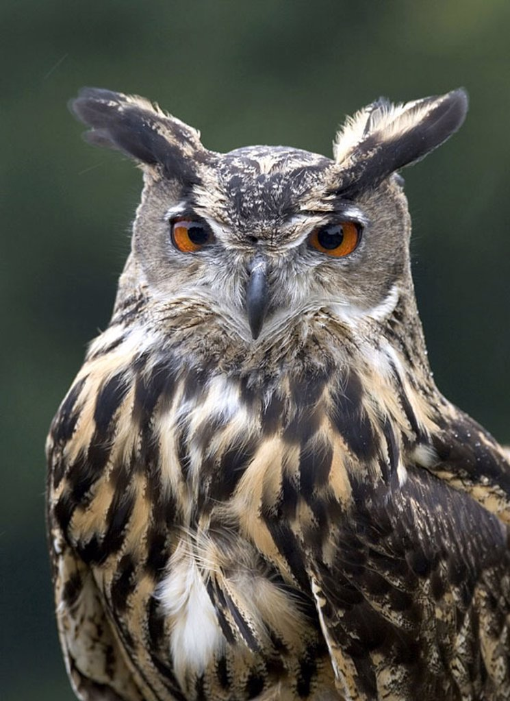 Close_up of Eurasian Eagle Owl Bubo Bubo : Stock Photo