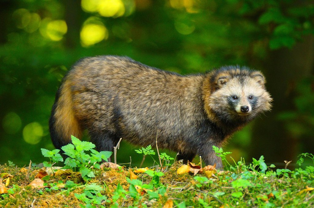 Stock Photo: 1841-8519 Raccoon Procyon lotor standing in forest