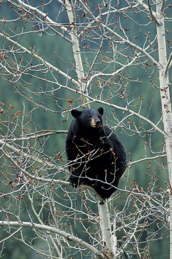 Black bear Ursus Americanus sitting on tree, Jasper National Park, Alberta, Canada : Stock Photo