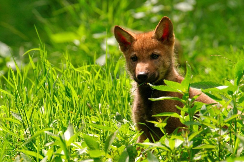 Grey wolf cub Canis lupus standing in forest, Germany : Stock Photo