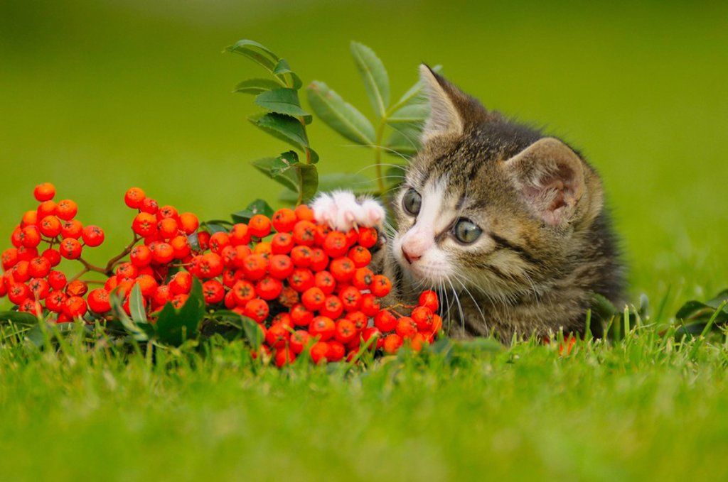 Stock Photo: 1841-9794 Close_up of kitten in field, Bavaria, Germany
