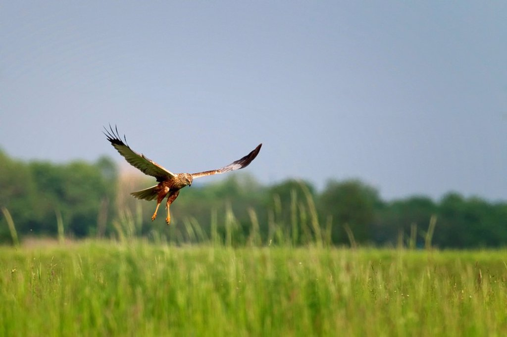 Marsh harrier, Circus aeruginosus, Neusiedler See, Burgenland, Austria, Europe : Stock Photo