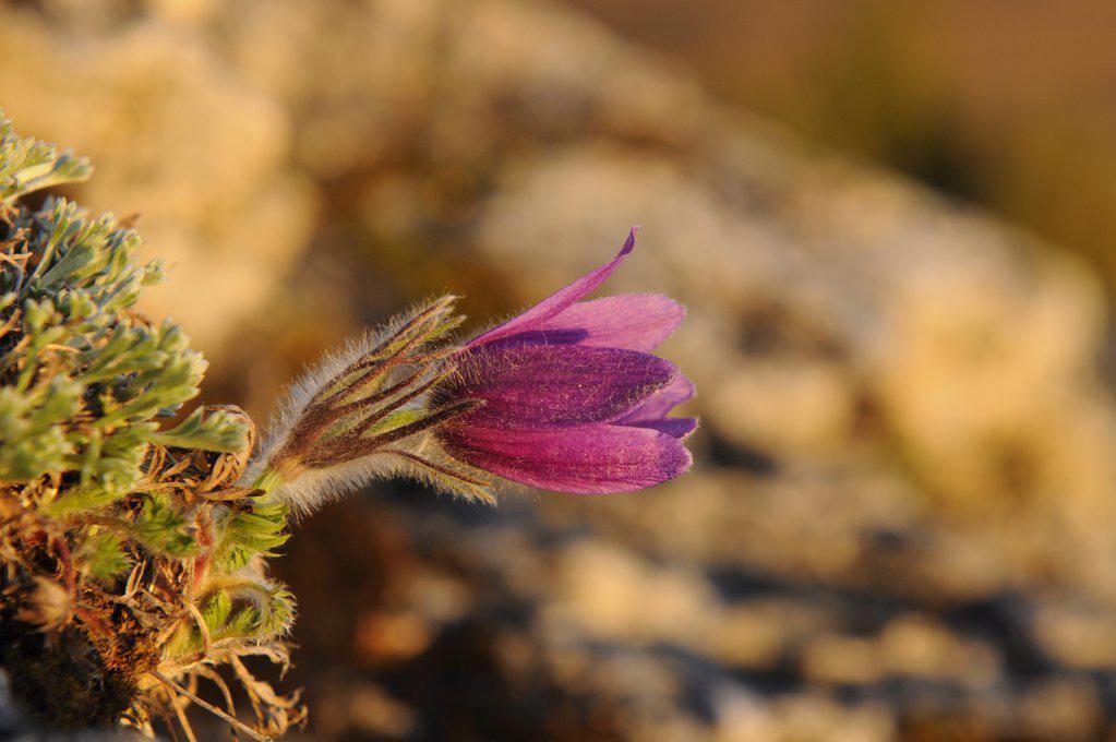 Stock Photo: 1841R-117097 Pasque flower (Pulsatilla vulgaris)