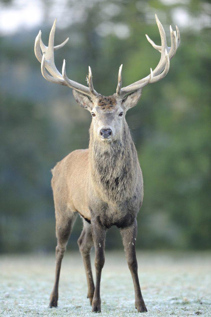 Stock Photo: 1841R-117183 Red deer (Cervus elaphus) standing on meadow