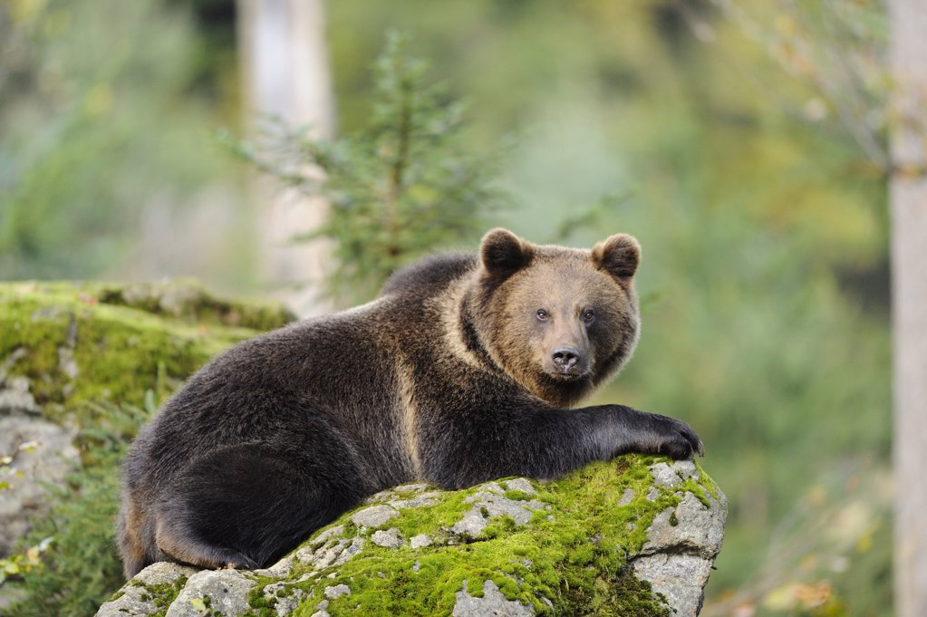 Stock Photo: 1841R-117194 Eurasian brown bear (Ursus arctos arctos) lying