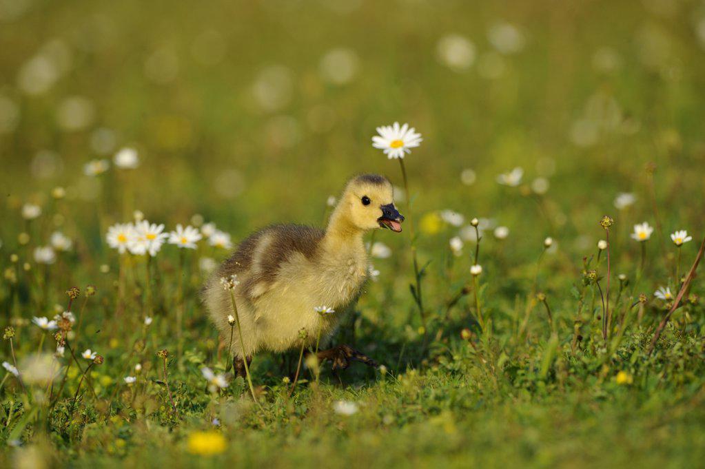Canada gosling (Branta canadensis) in grass : Stock Photo