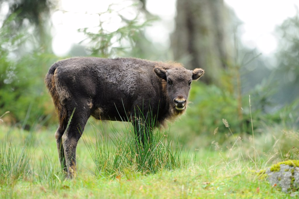 Stock Photo: 1841R-121688 Young Wisent (Bison bonasus) on a meadow