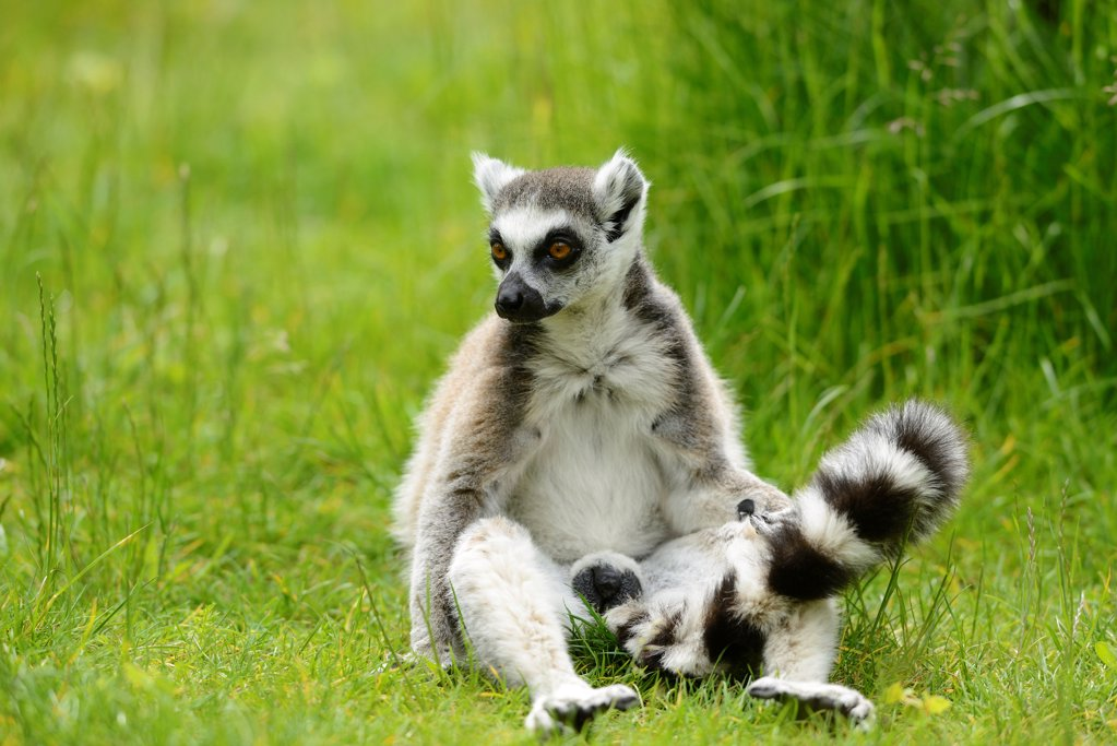 Ring-tailed lemur, Lemur catta, Zoo, Augsburg, Bavaria, Germany, Europe : Stock Photo