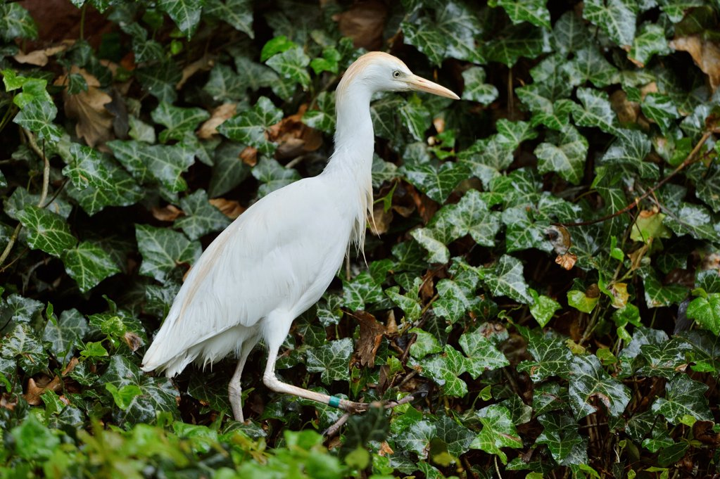 Great white heron, Casmerodius albus : Stock Photo