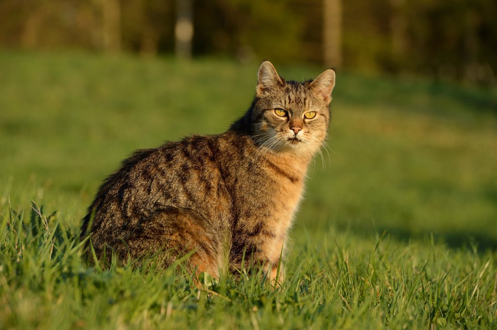 Stock Photo: 1841R-124867 Cat, Felis silvestris catus