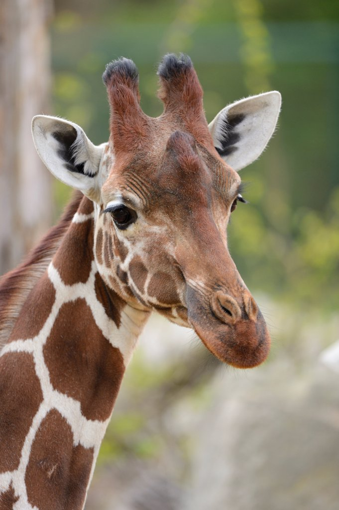 Reticulated giraffe, Giraffa camelopardalis reticulata, Africa : Stock Photo
