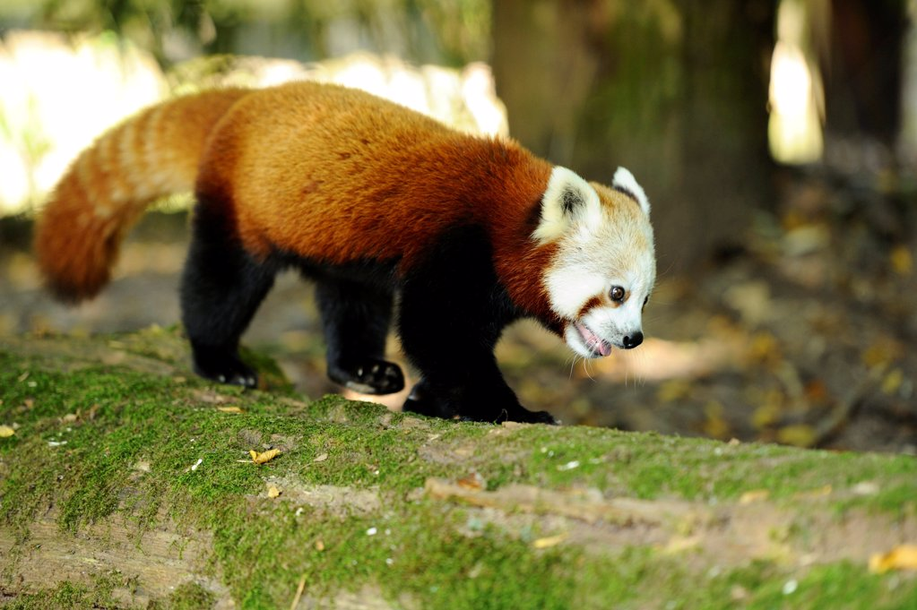 Stock Photo: 1841R-124872 Red Panda, Ailurus fulgens
