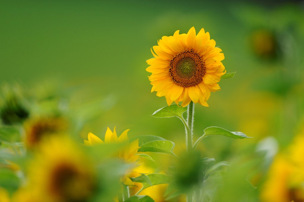 Stock Photo: 1841R-124879 Sunflower field, Helianthus annuus, Franconia, Bavaria, Germany, Europe