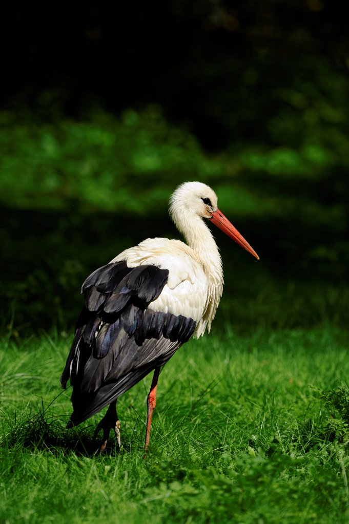 Stock Photo: 1841R-124884 White stork, Ciconia ciconia, Bavaria, Germany, Europe