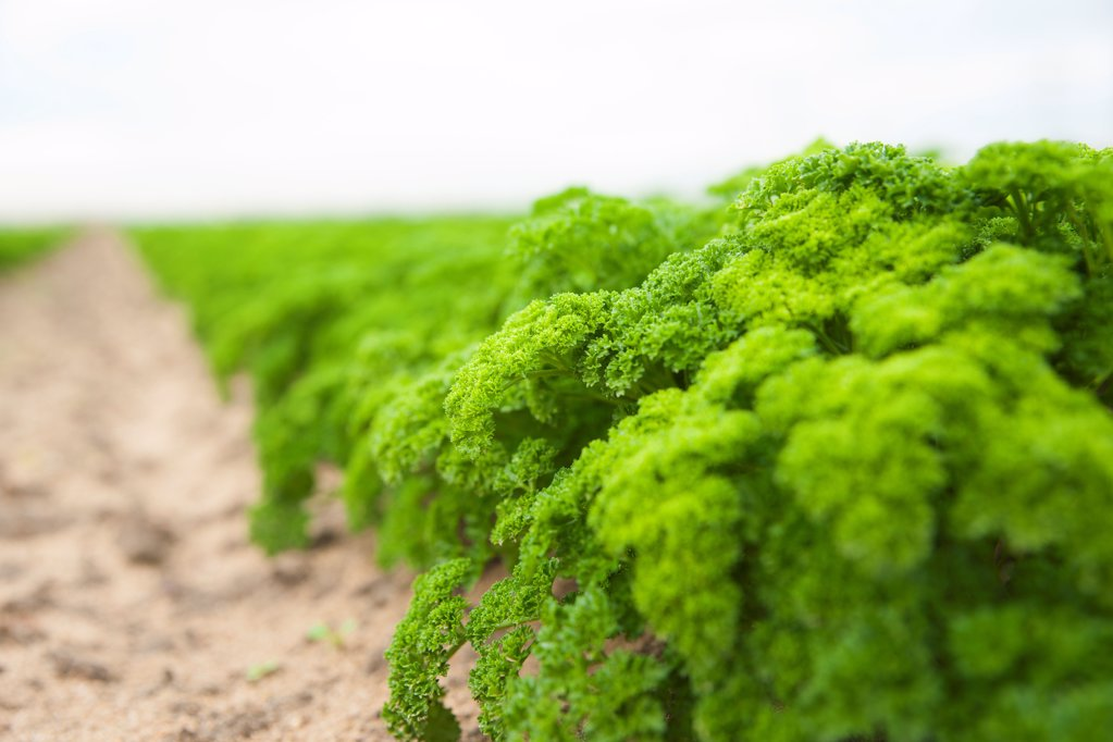 Stock Photo: 1841R-125096 Parsley field