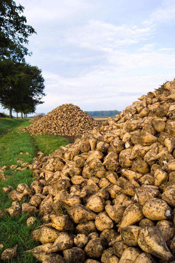 Sugar beets on a field : Stock Photo
