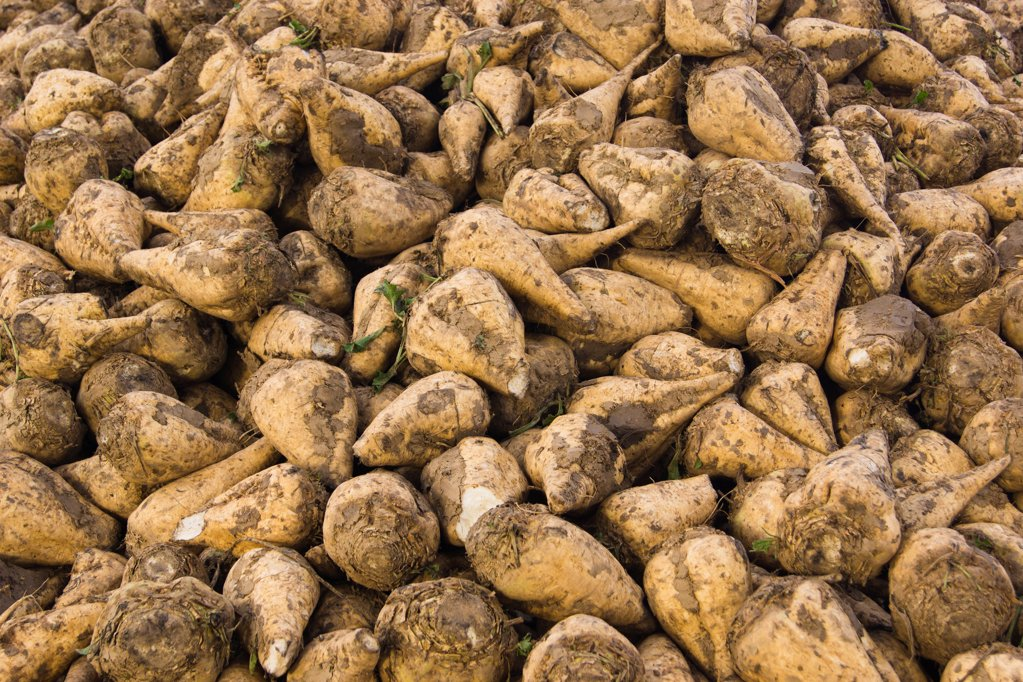 Stock Photo: 1841R-125100 Sugar beets on a field