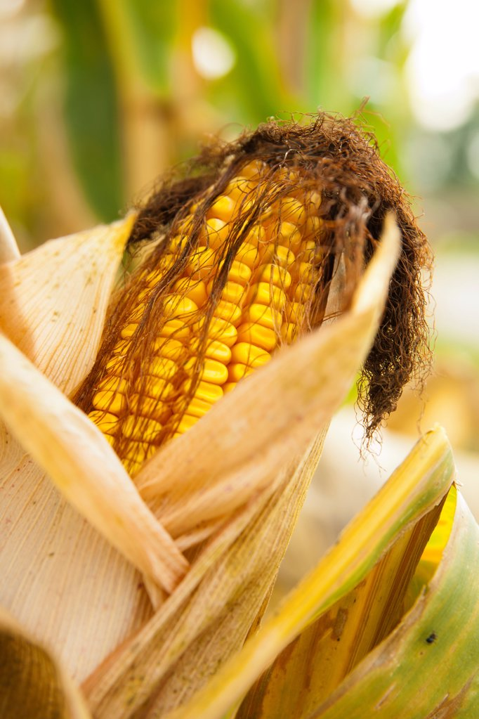 Maize on a maize field : Stock Photo