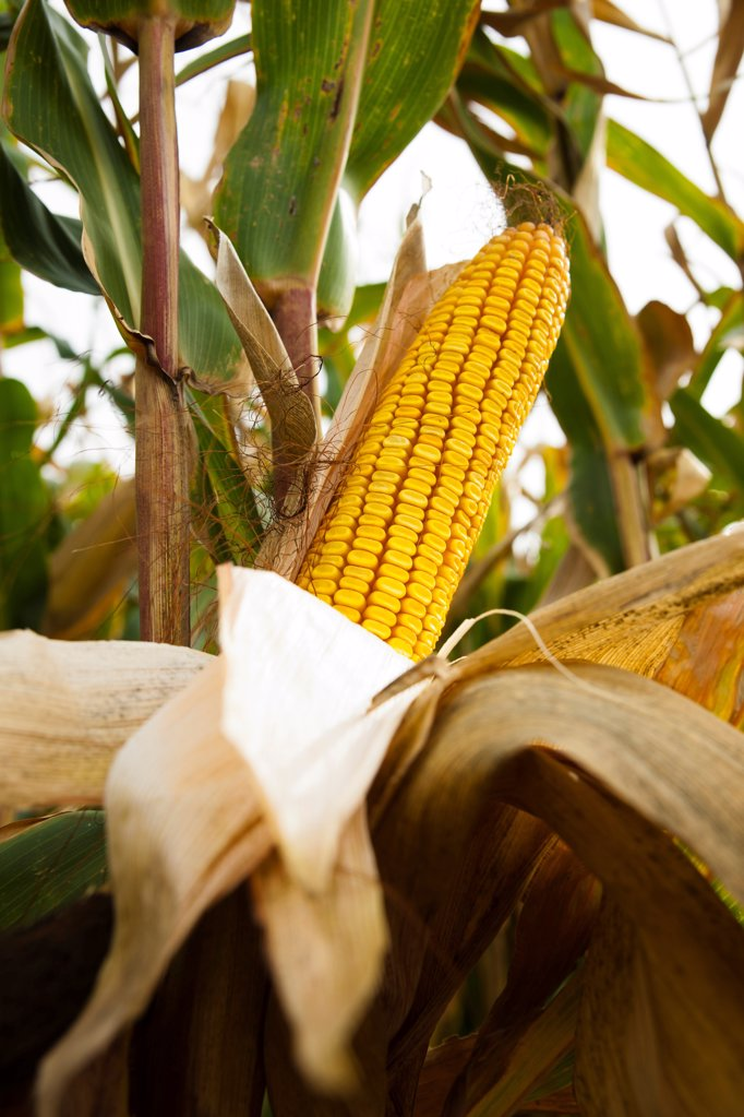 Stock Photo: 1841R-125102 Maize on a maize field