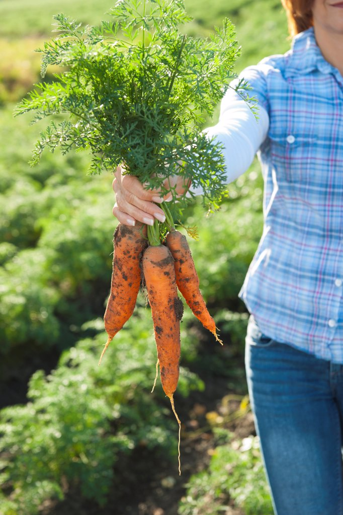 Stock Photo: 1841R-125115 Woman harvesting carrots