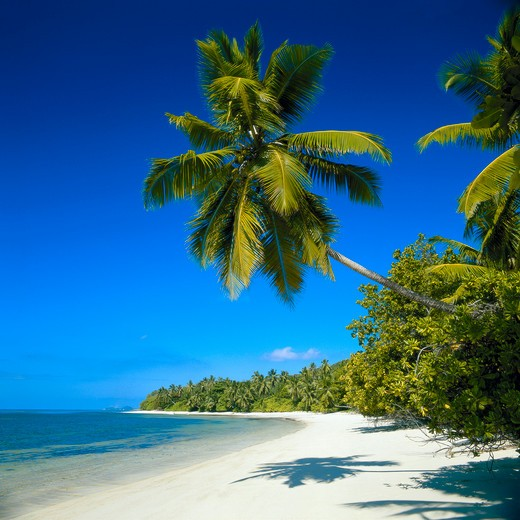 Stock Photo: 1841R-80521 Palm trees on beach, Maldives