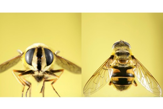 Stock Photo: 1841R-81322 Detailed front and top view of wasp