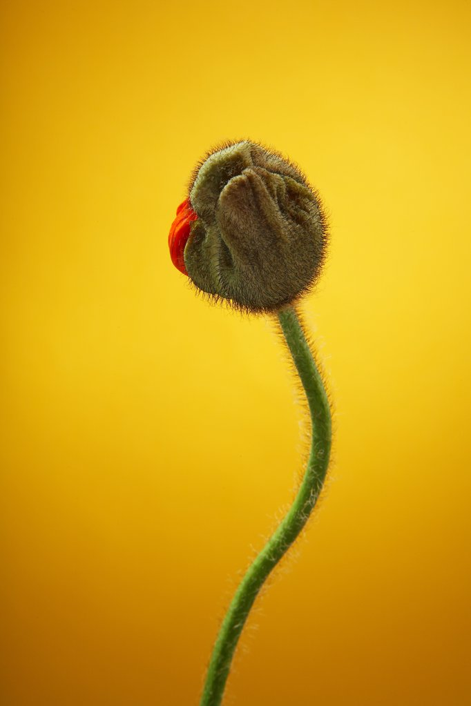 Stock Photo: 1841R-83315 Poppy bud (Papaver rhoeas) against yellow background, close-up