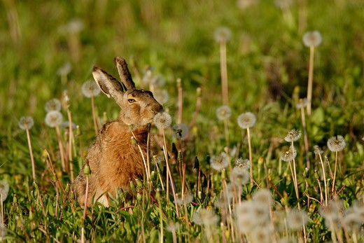 Stock Photo: 1841R-90346 Close-up of rabbit in field