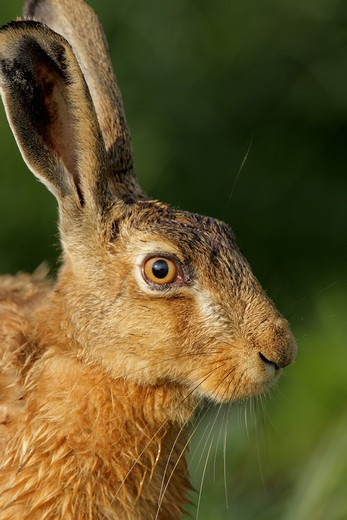 Stock Photo: 1841R-90384 Close-up of rabbit's face