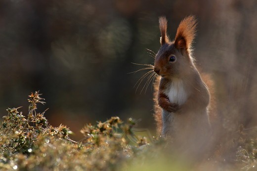Close-up of squirrel in field : Stock Photo