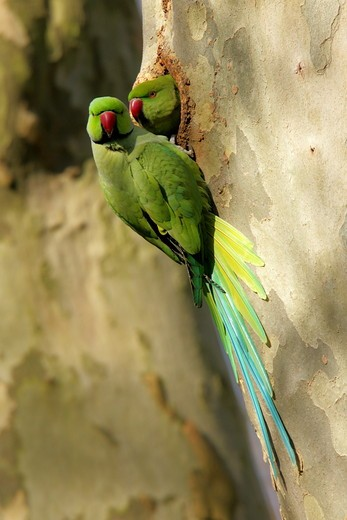 Close-up of two parrots on tree trunk : Stock Photo