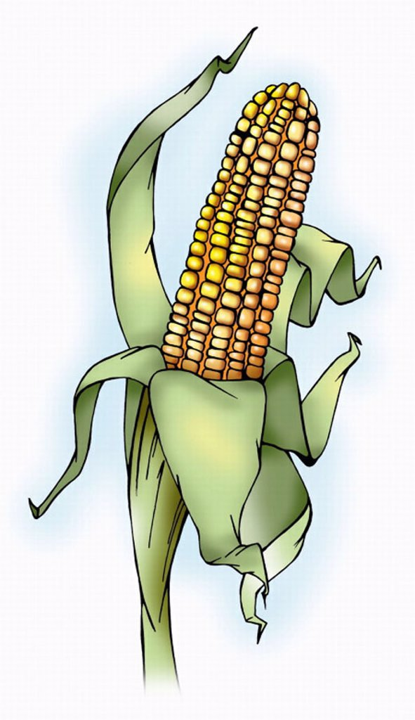 Stock Photo: 1843R-3062 Fresh corn on the cob