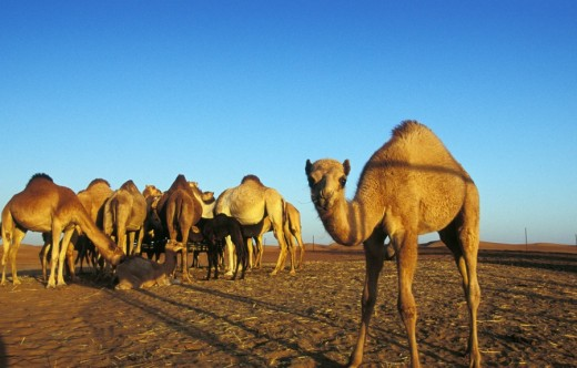 Herd of Camels in the Desert Dubai, United Arab Emirates, Middle East : Stock Photo
