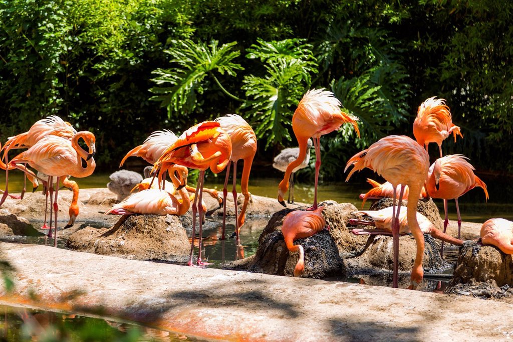 Flock of flamingos in a zoo, Barcelona Zoo, Barcelona, Catalonia, Spain : Stock Photo