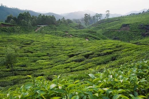 Tea plantation and tree, Munnar, Idukki, Kerala, India : Stock Photo