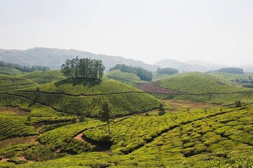 Tea plantation, Munnar, Idukki, Kerala, India : Stock Photo