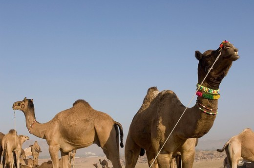Herd of camels in a fair, Pushkar Camel Fair, Pushkar, Rajasthan, India : Stock Photo