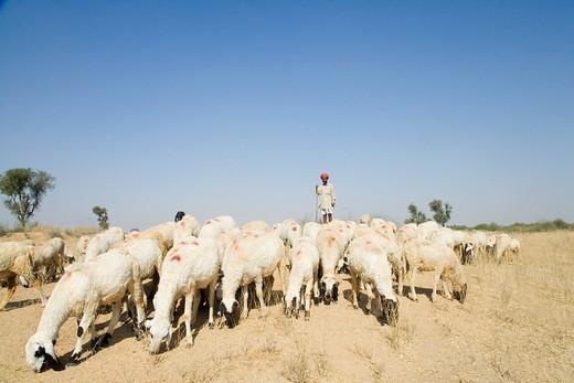Shepherd herding a flock of sheep, Jodhpur, Rajasthan, India : Stock Photo