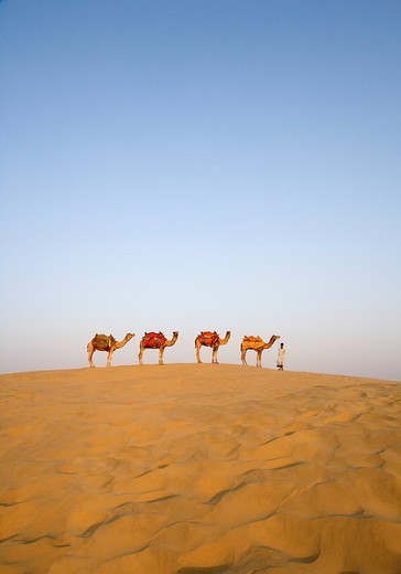 Four camels standing in a row with a man, Jaisalmer, Rajasthan, India : Stock Photo