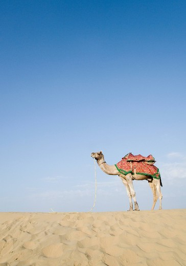 Stock Photo: 1846-3774 Camel in a desert, Thar Desert, Jaisalmer, Rajasthan, India
