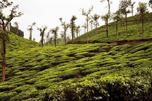 Trees in a tea garden, Mysore, Karnataka, India : Stock Photo