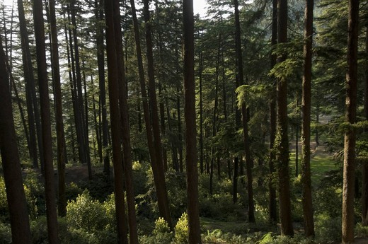 Stock Photo: 1846-5463 Trees in a forest, Patnitop, Jammu And Kashmir, India