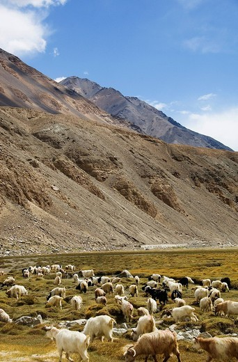 Stock Photo: 1846-6299 Flock of sheep grazing on a field, Ladakh, Jammu and Kashmir, India