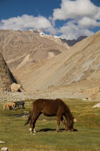 Horse grazing on a field with mountain range in the background, Ladakh, Jammu and Kashmir, India : Stock Photo