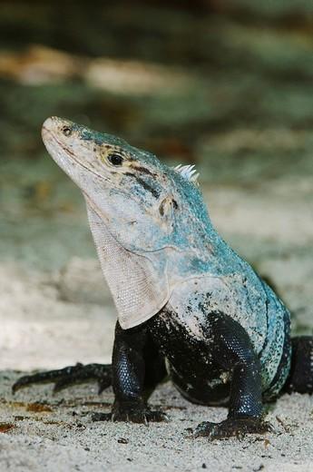 Black Iguana, Ctenosaur Ctenosaura similis, adult, Manuel Antonio National Park, Central Pacific Coast, Costa Rica, Central America : Stock Photo